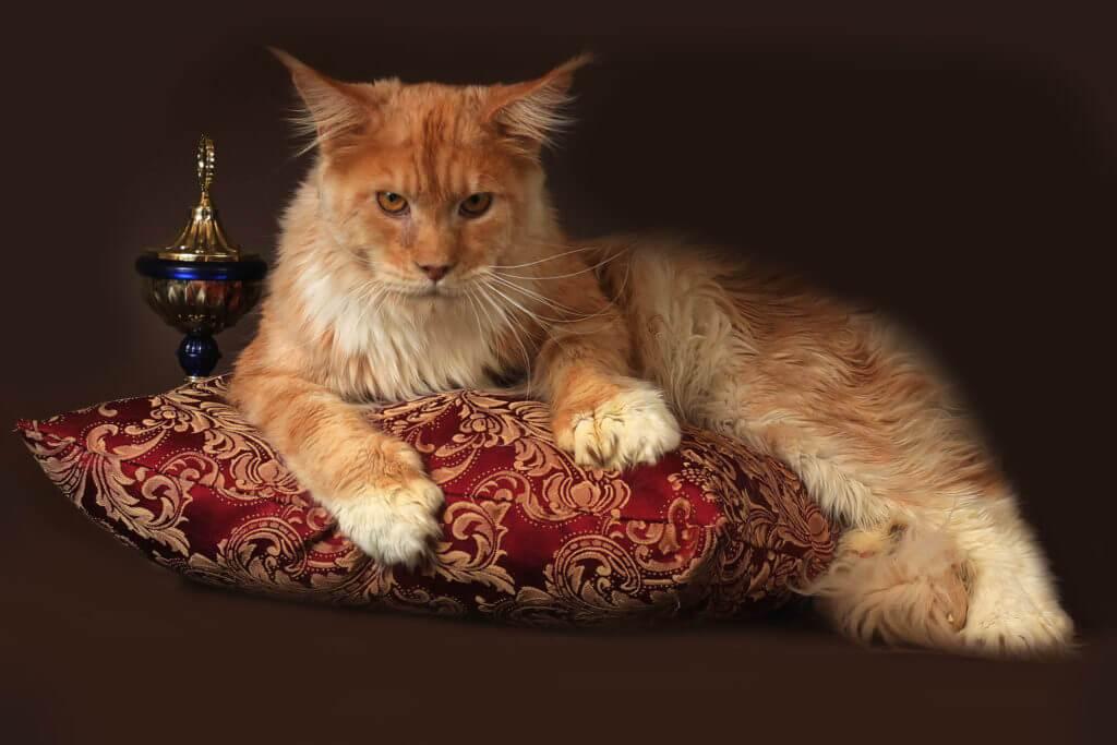 кот мейн кун Боско 1