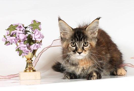 мейнкун кошка