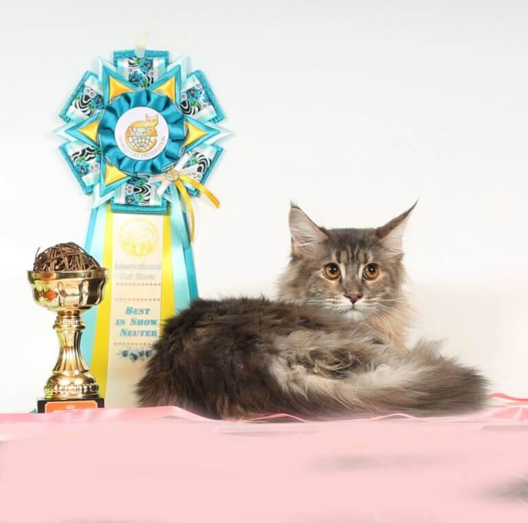 """мейнкун кошка 25 ПОМЕТ НА БУКВУ Ч """"от 26.12.17г."""