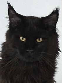 Blackie Khrustal Orchid кот мейн-кун