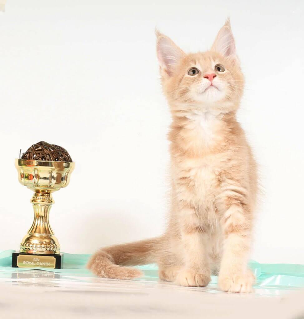 Кот мейн кун 39 ПОМЕТ НА БУКВУ Г от 31.05.18г