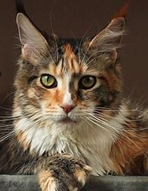 Extra PP кошка мейн кун