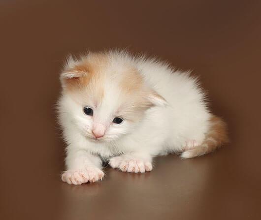 Кот мейн кун 40 ПОМЕТ НА БУКВУ M от 22.07.18