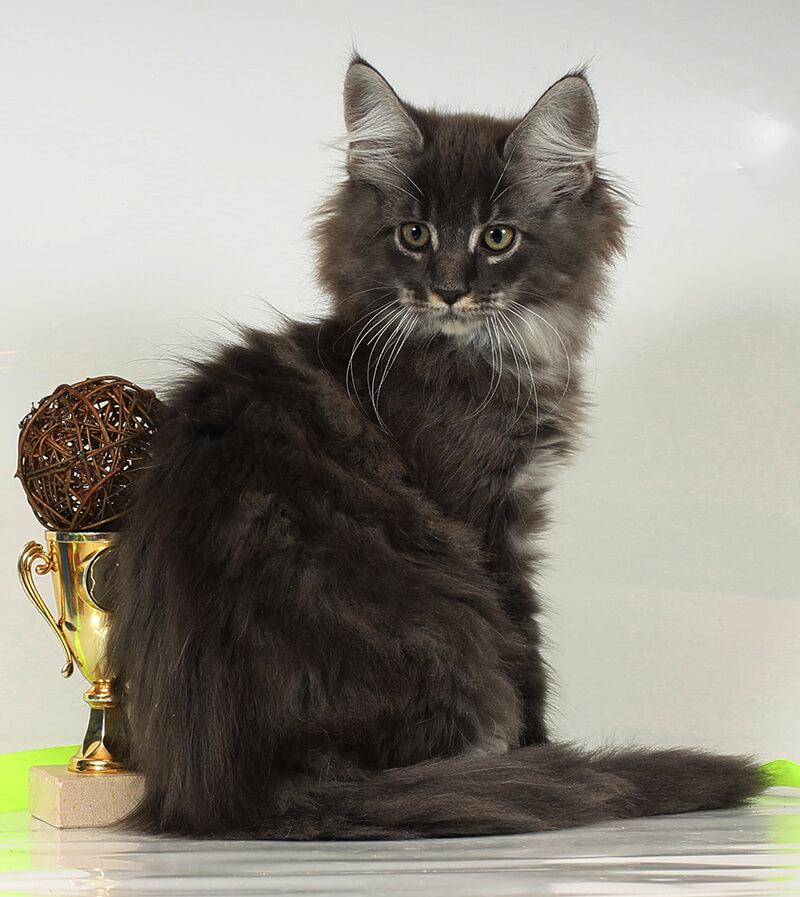 Кот мейн-кун 63 ПОМЕТ НА БУКВУ Ф от 06.07.18
