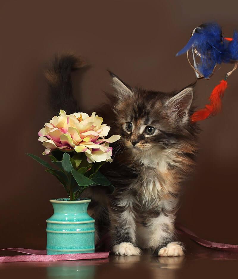 Кошка 58 ПОМЕТ НА БУКВУ Б от 10.10.18г мейн кун4