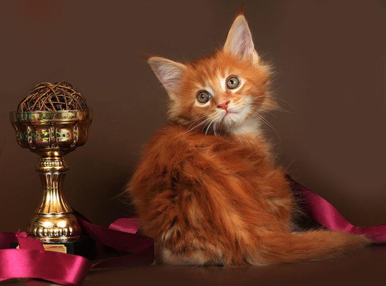 Кот мейн-кун №67 ПОМЕТ НА БУКВУ А от 22.09.18г