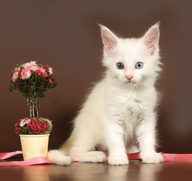 Кошка мейн-кун №56 ПОМЕТ НА БУКВУ А от 22.09.18г