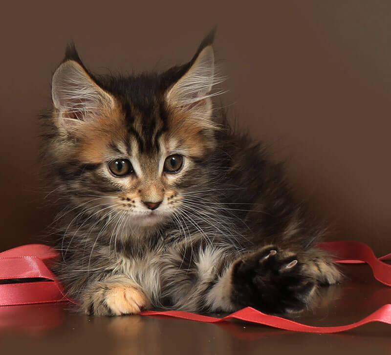 Кошка мейн кун №60 ПОМЕТ НА БУКВУ Ф от 07.10.18г