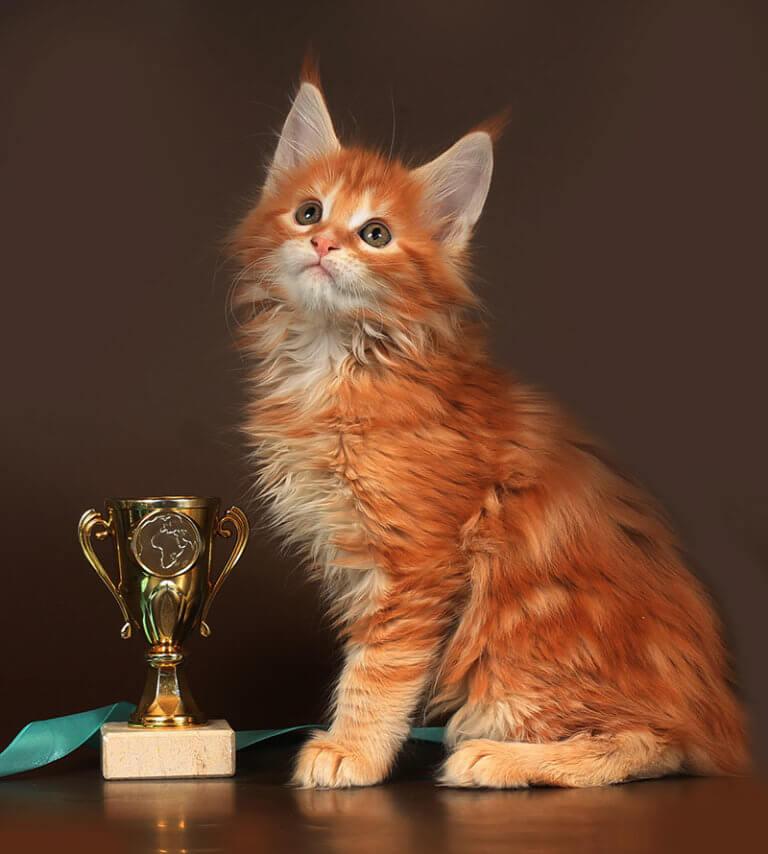 Кот №77 ПОМЕТ НА БУКВУ Ф от 07.10.18г мейн кун