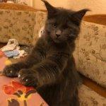 Кот полидакт Зевс