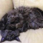Кот полидакт Зевс мейнкун