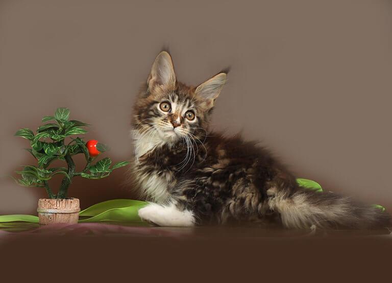 КОТ №10.1 ПОМЕТ НА БУКВУ С от 08.05.19г кот мейн кун