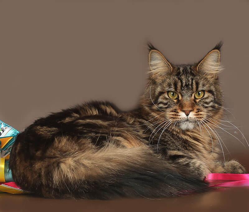 Кошка №72 ПОМЕТ НА БУКВУ Д от 29.01.19 мейн-кун