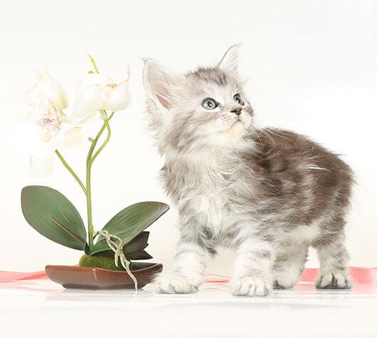 Кошка №26.1 ПОМЕТ НА БУКВУ В от 10.04.20 мейн-кун