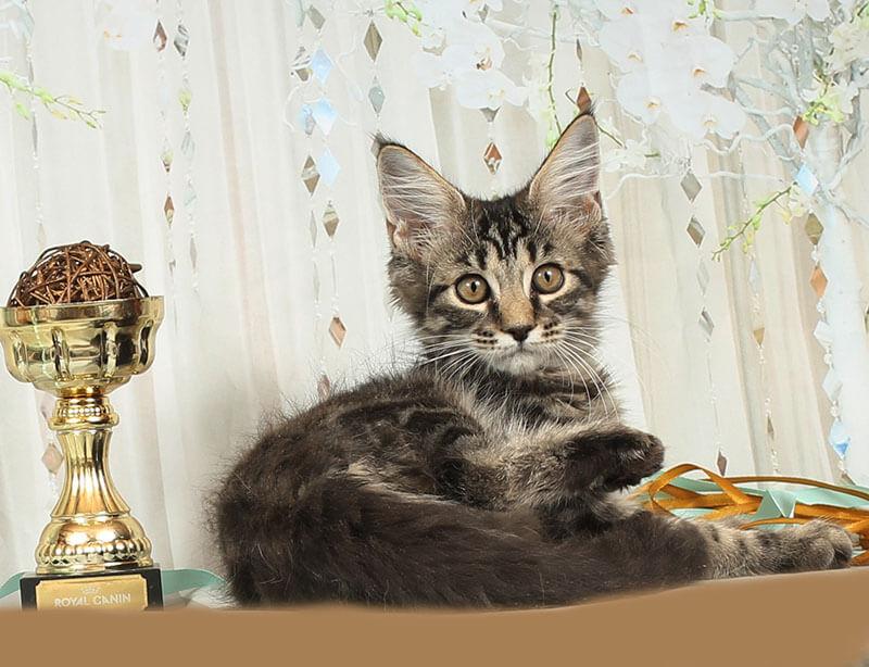 Кот №52.1 ПОМЕТ НА БУКВУ В от 10.04.20 3006 мейнкун