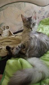 Кот мейн-кун Князь
